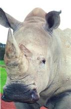 Southern white rhinoceros. Image©kidcyber