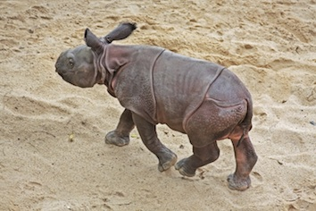 Indian rhinoceros calf. Getty Images
