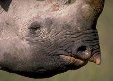 Black rhinoceros. Getty Images