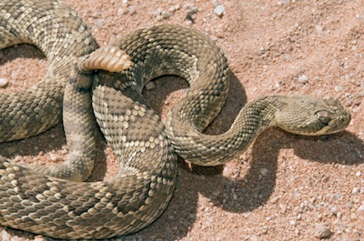 This rattlesnake has venom. Getty Images