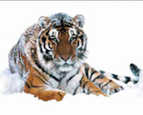 Siberian tiger .Getty Images