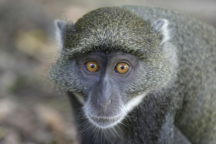 monkeyvervet_face_jup.jpg