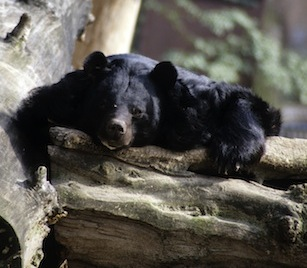 Read about the Asiatic Black Bear on kidcyber