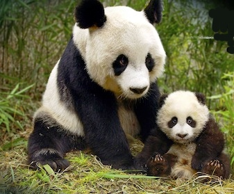 Read about the Giant Panda on kidcyber