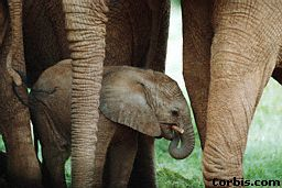 After being almost extinct in China, the population has increased to about 300 after becoming a protected species.   Read about elephants on kidcyber