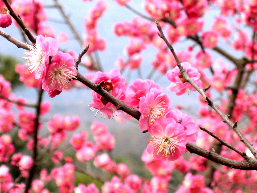 Plum Blossom: The National Flower of China (From Wikimedia Commons, the free media repository)