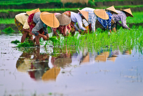 In small Asian farms, the rice seedlings are planted by hand. Photo©iStock