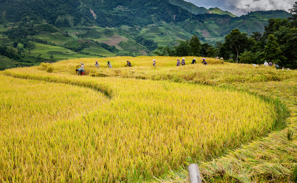 In many small Asian farms like this one in Vietnam the rice is cut by hand and made into bundles. Photo©iStock