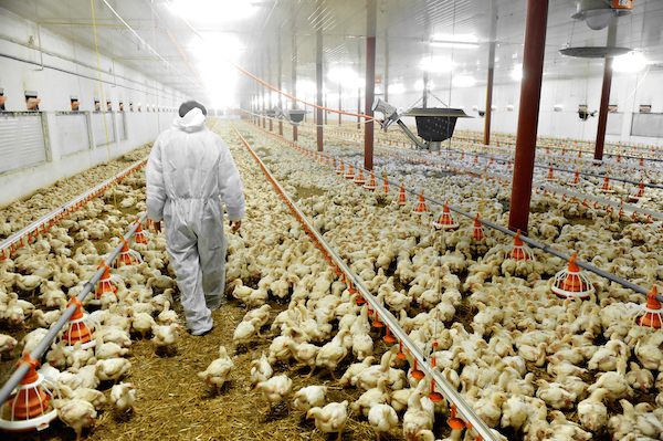 A vet is checking a huge barn or shed containing hundreds of chickens. ©iStock