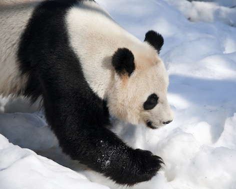 The Giant panda is found in the wild only in China. Photo©Getty