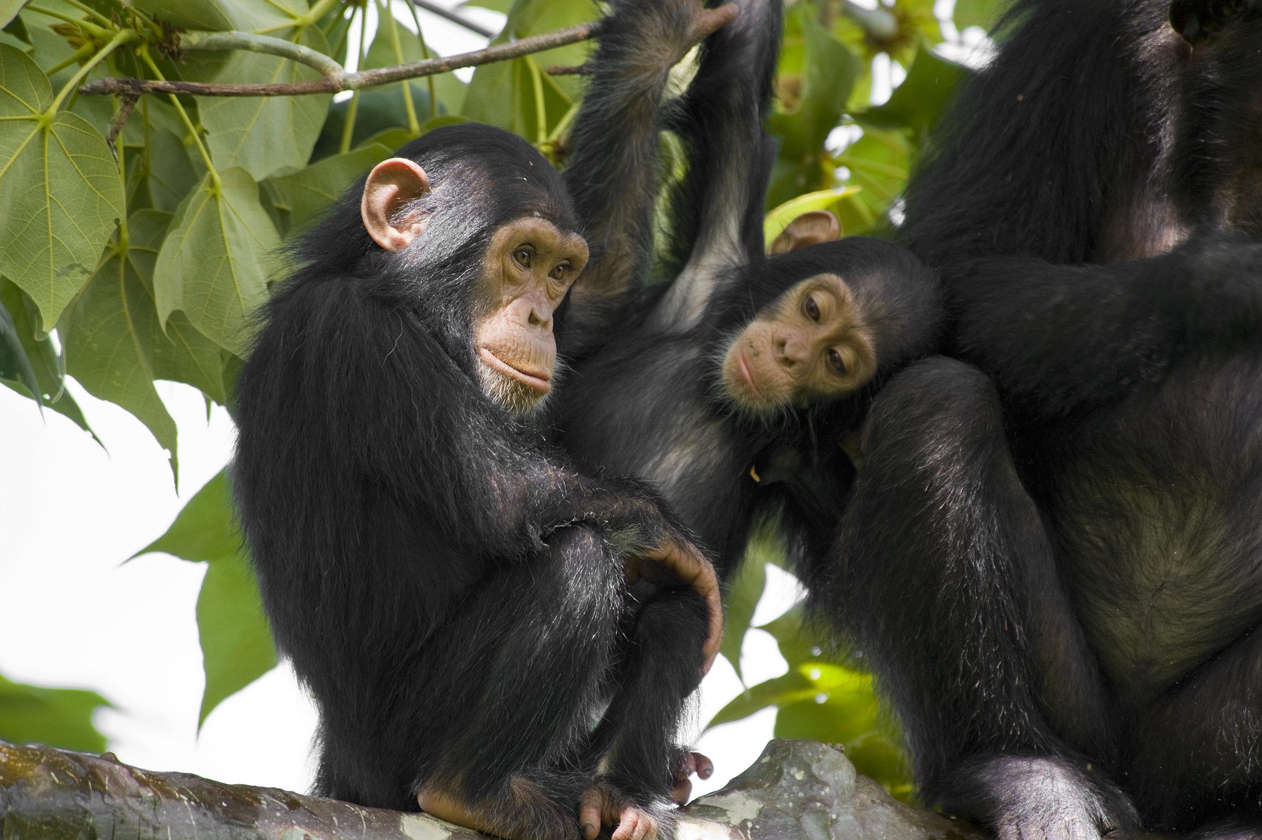 Chimpanzees in Tanzania. Photo©Getty