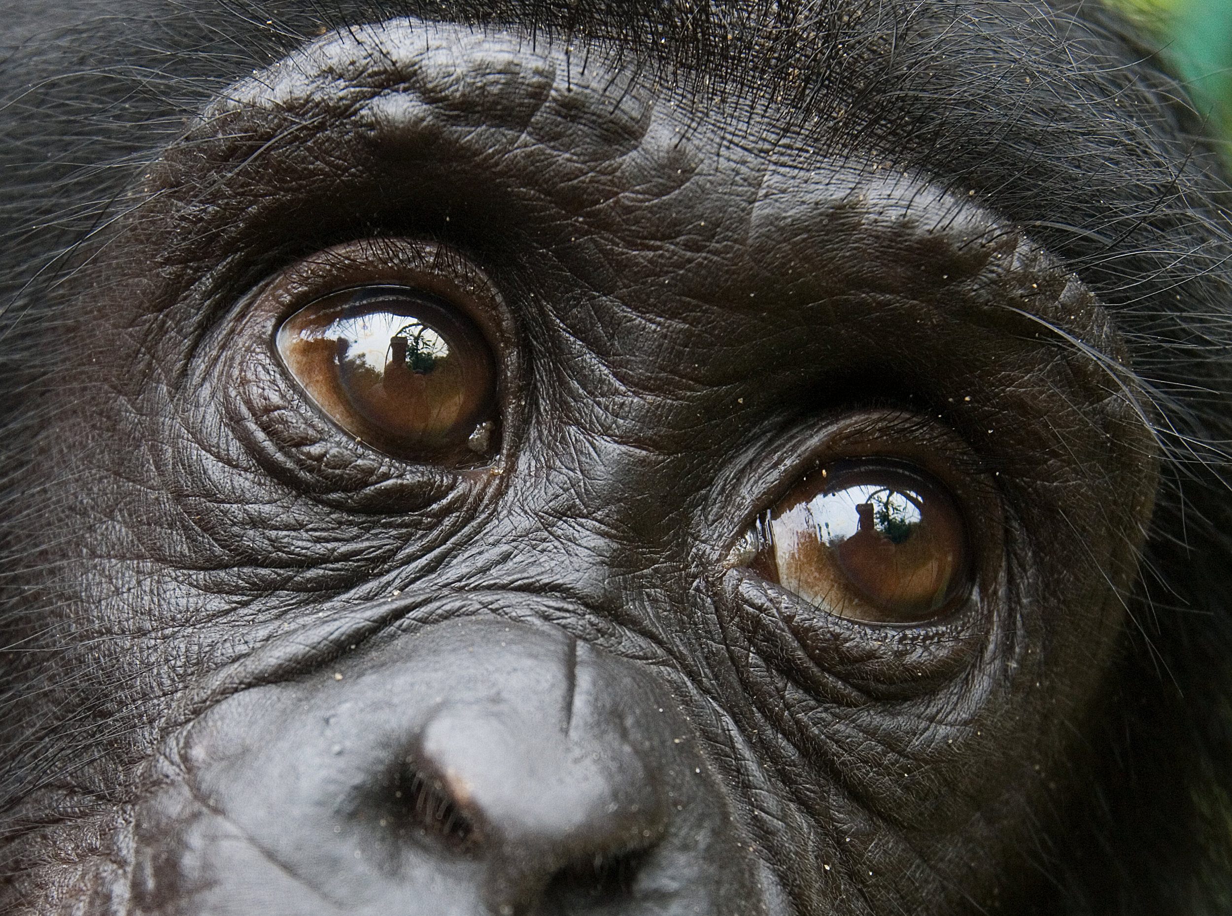 Bonobo. Photo©Getty