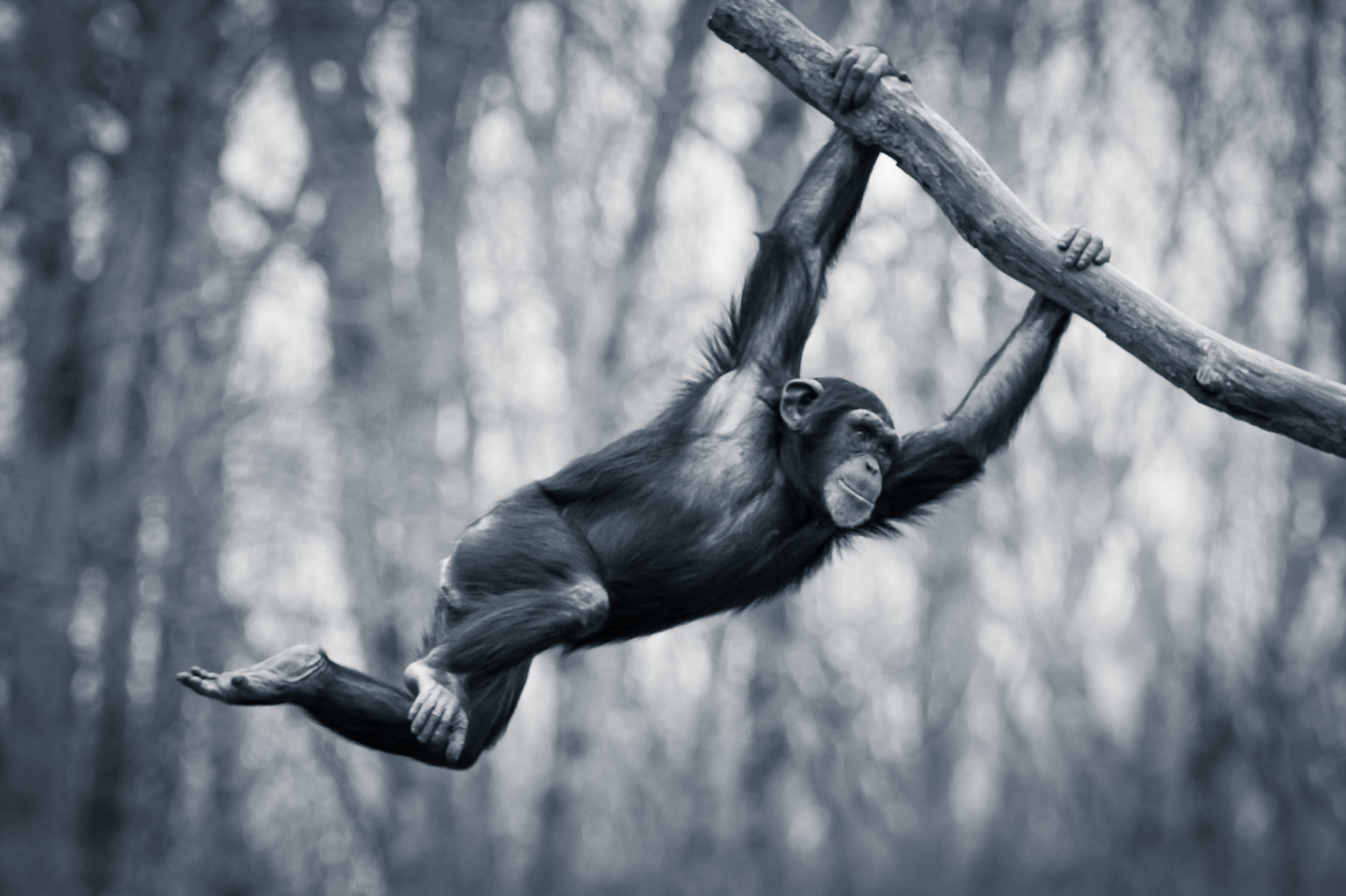 A chimpanzee moving through the treetop at speed, swinging from branch to branch. Photo©Getty