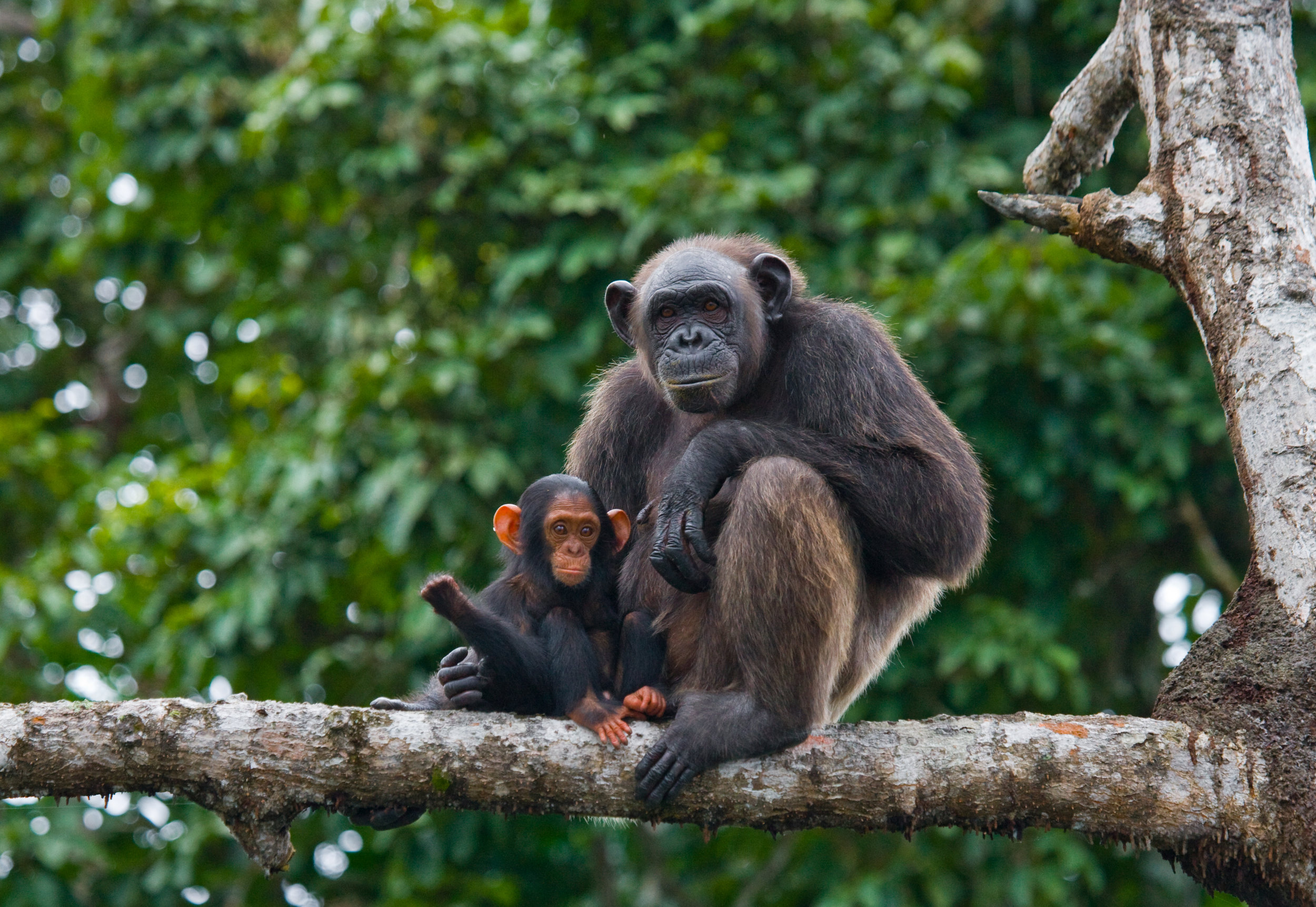 A female chimpanzee with her young. Photo©Getty