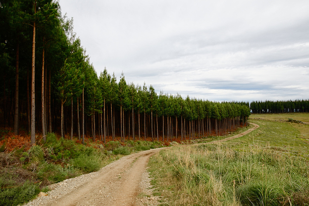 A plantation of pine trees ©iStock