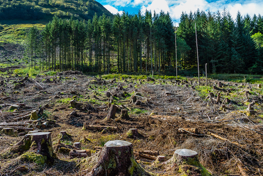 Pine forest after harvesting. New trees will be planted soon ©iStock