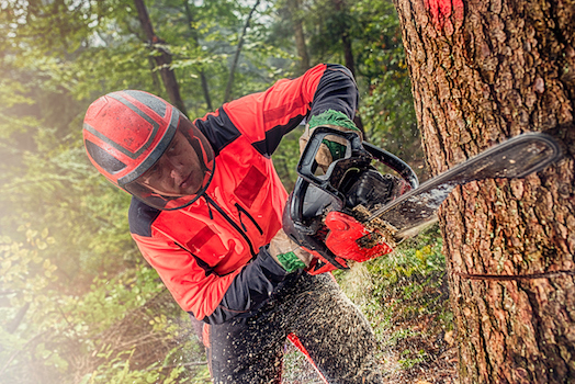 A forest worker uses a chainsaw to cut down trees. ©iStock