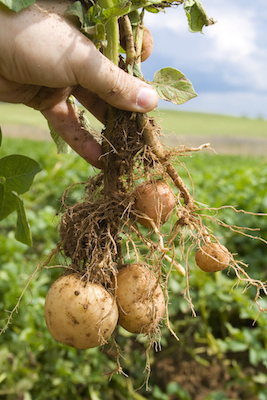 Potatoes grown on the fibrous roots of the potato plant. ©Getty