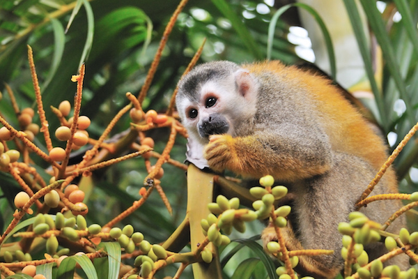 Monkeys like this squirrel monkey are good seed dispersers because they wander widely through their habitat eating fruit as they go. The seeds pass out of their bodies far away from the tree where it was gathered. ©Getty
