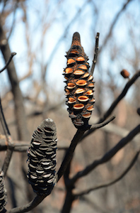 The open 'mouths' of these banksia cones have exploded their seeds into the air after a bushfire has died down. ©Getty