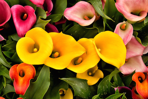 The common calla lilies are part of the same arum family, and can be seen in many gardens. ©Getty
