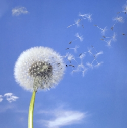 Dandelion seeds float like tiny parachutes. ©Getty