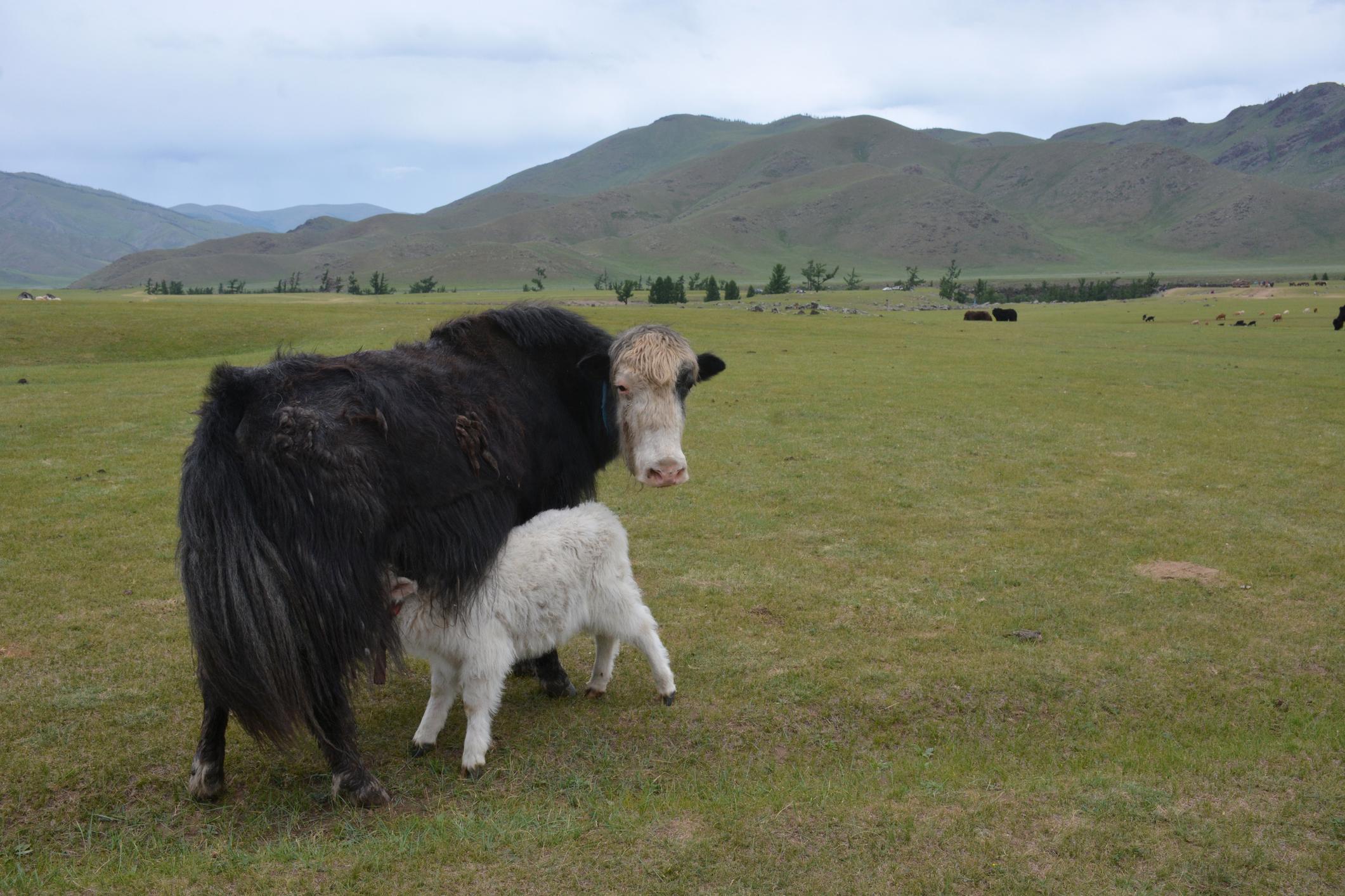 Female yak with newborn calf. ©Getty