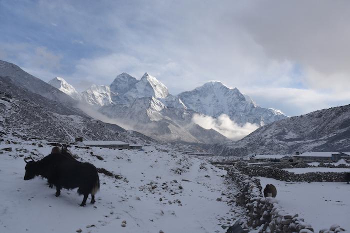 Domestic female yak near a village in Nepal in winter. ©Getty