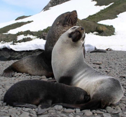 Antarctic fur seals with pup ©Getty Images