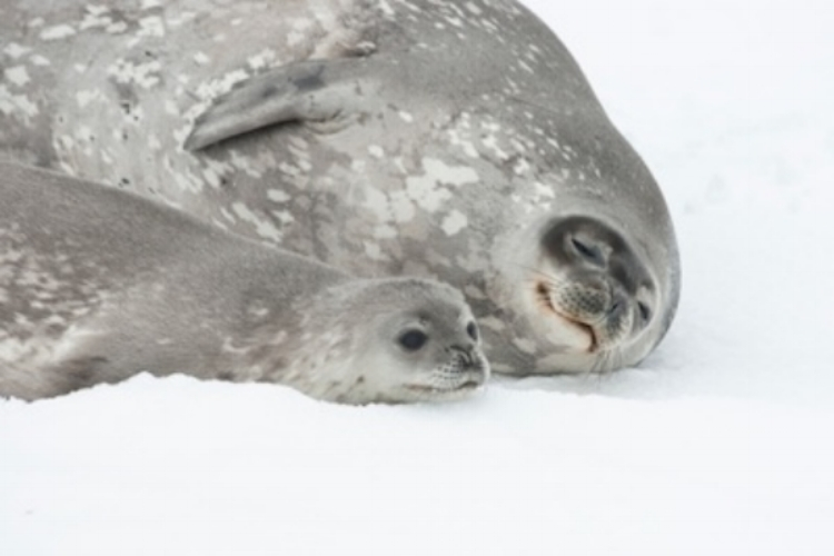 Female Weddell seal and pup. ©Getty Images