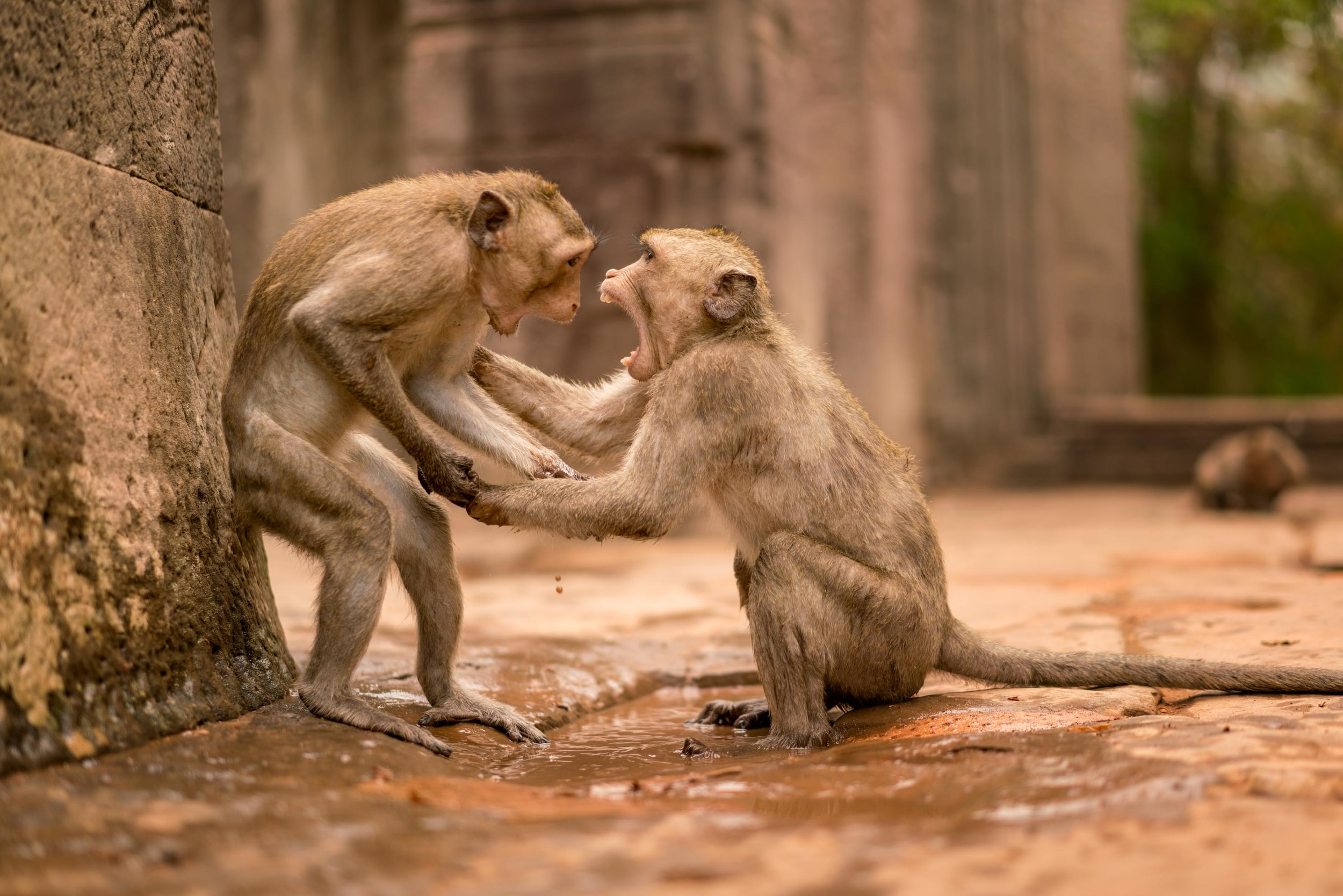 Monkey Fight, Cambodia