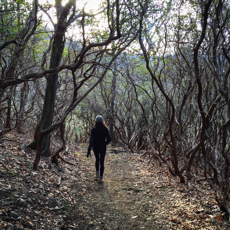 Spooky tunnel of mountain laurels