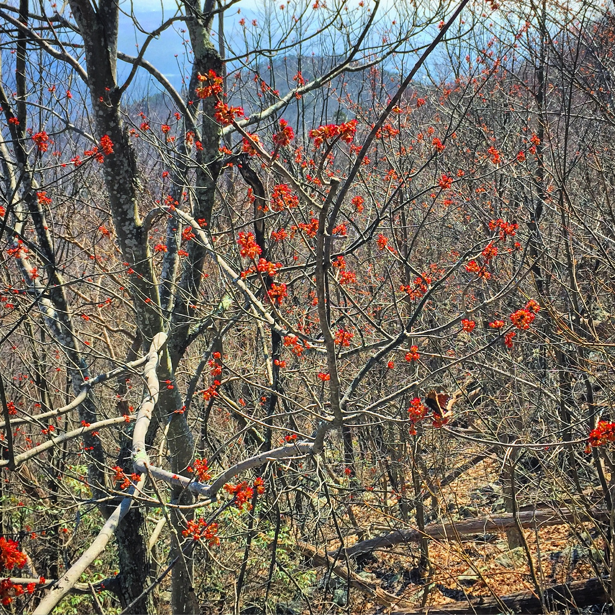 Red maple tree blossom as a butterfly feeds on its nectar and helps to polinize