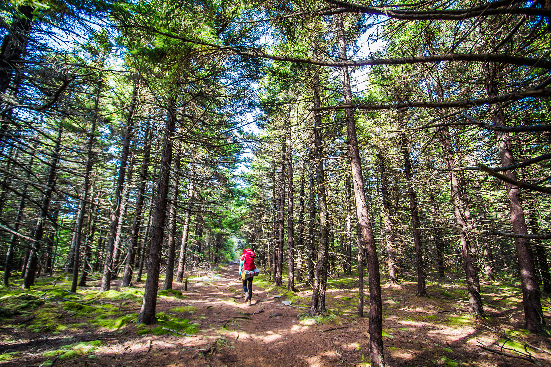 Hiking through the spruce forest
