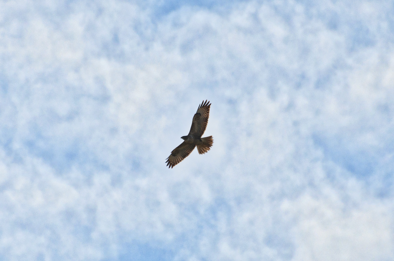 Buzzard, one of a pair seen over the Cover