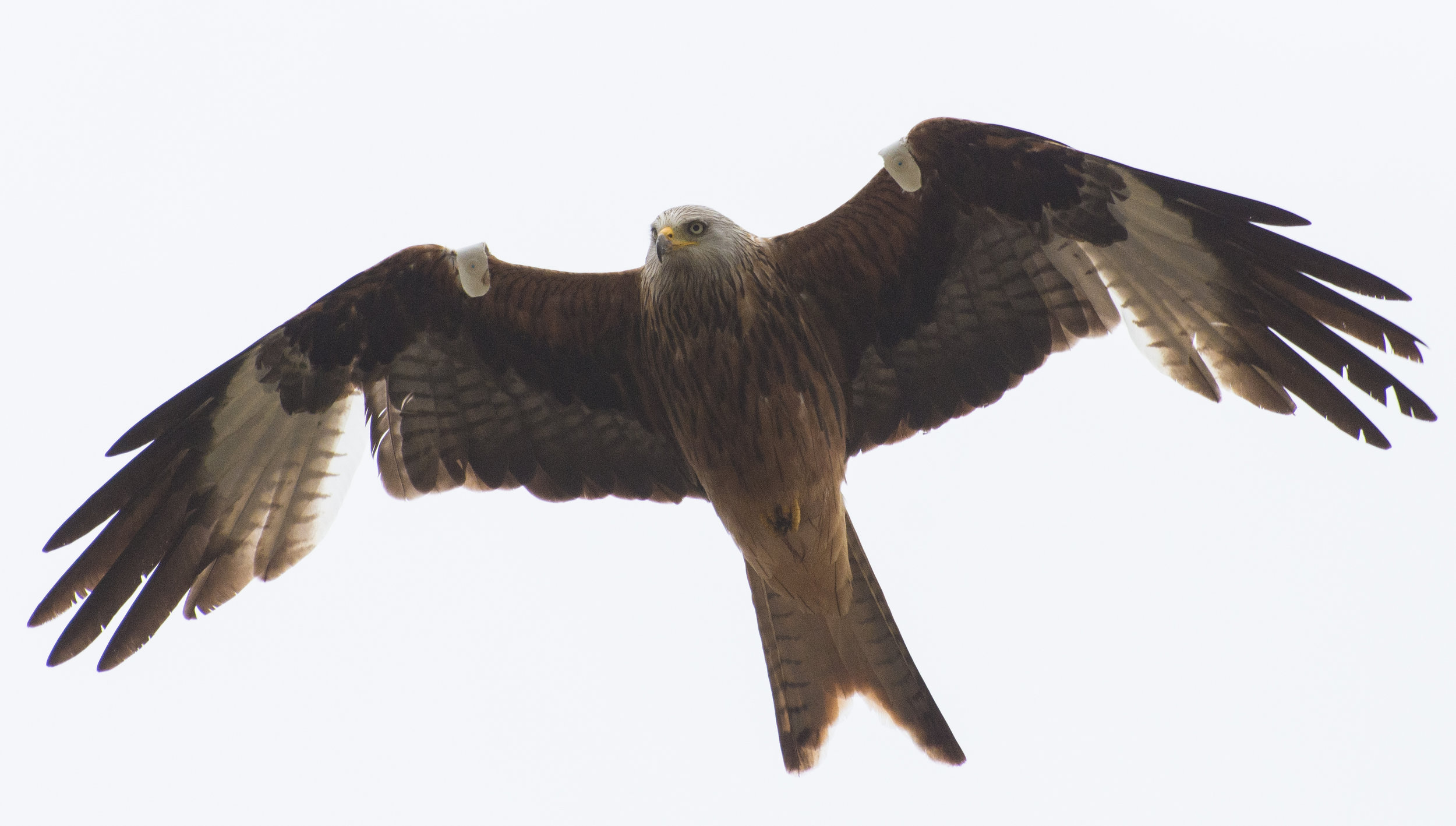 Red Kite at Fineshade Woods, Northamptonshire with wing tags