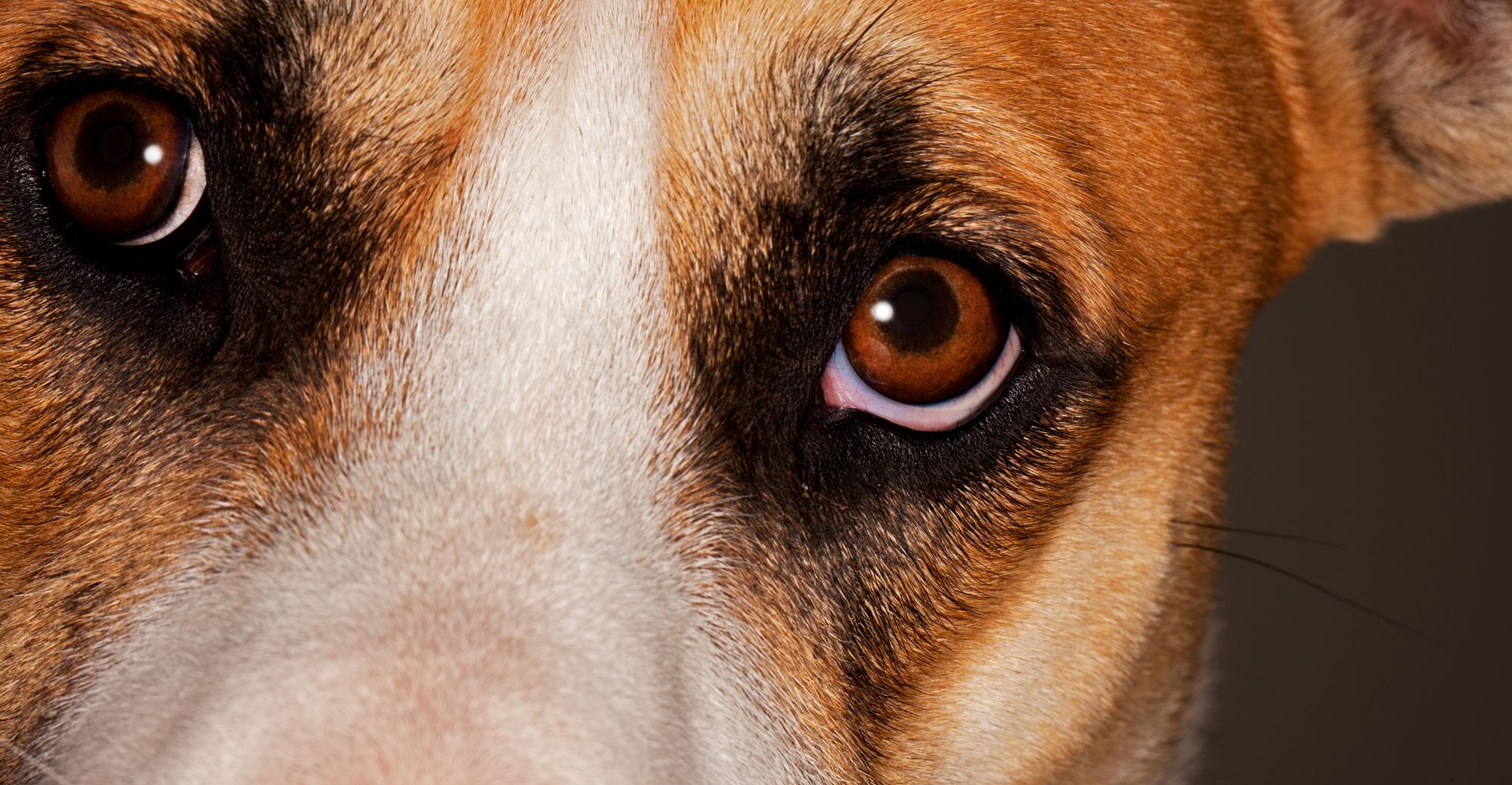 Dog eyes photographed by Steve Hoskins