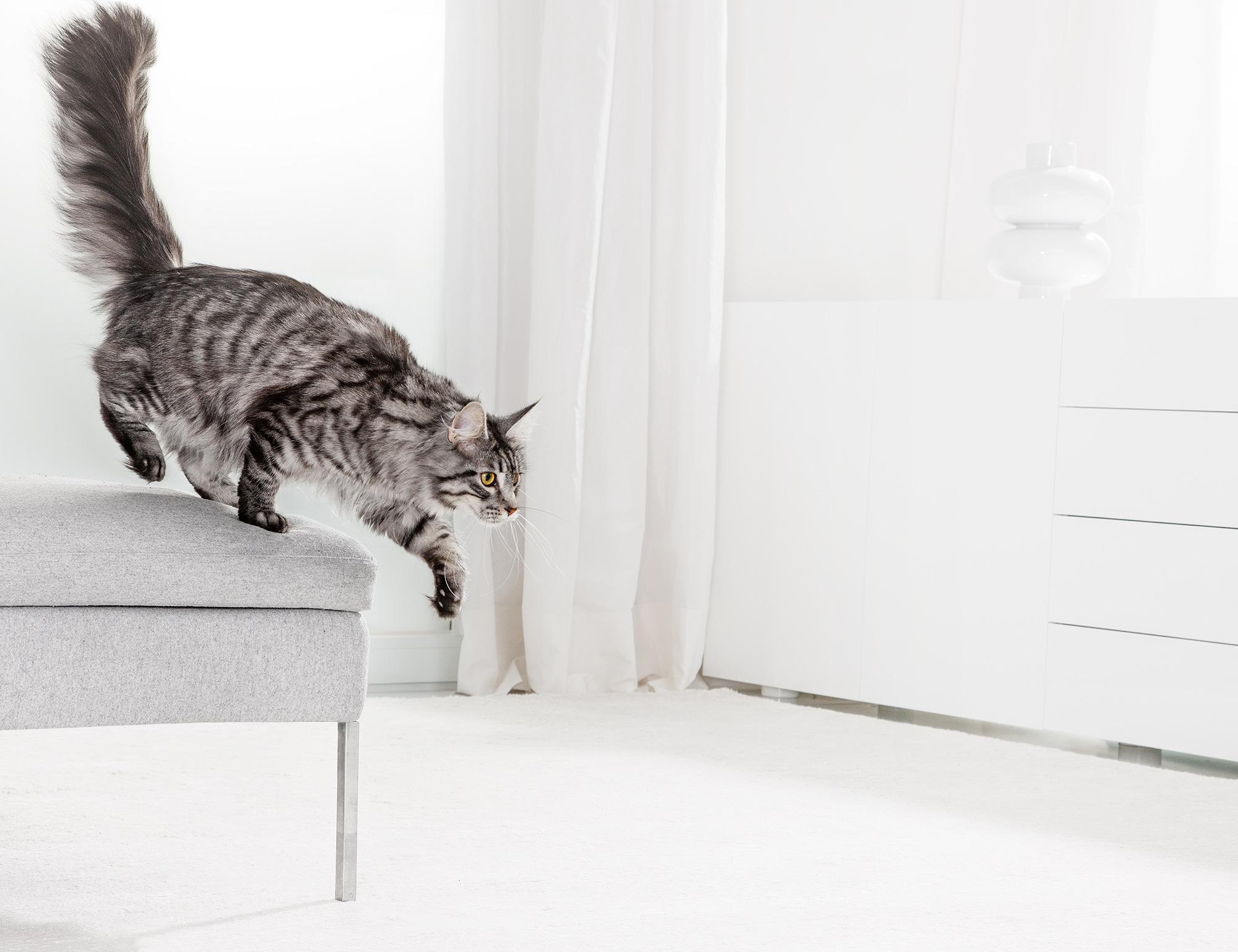 Cat jumping animal lifetsyle shot