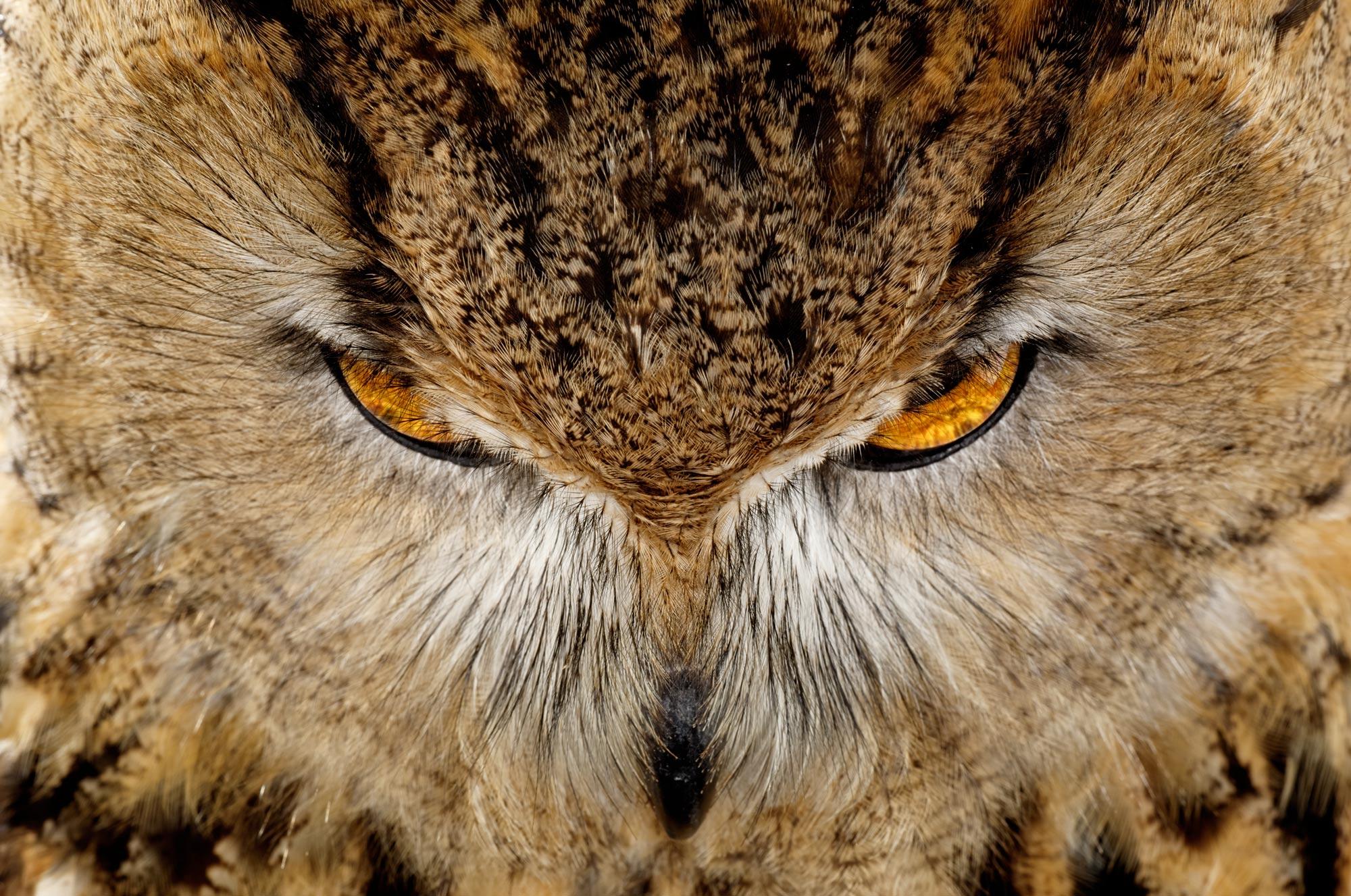 EAGLE_OWL_LSSH0026.jpg