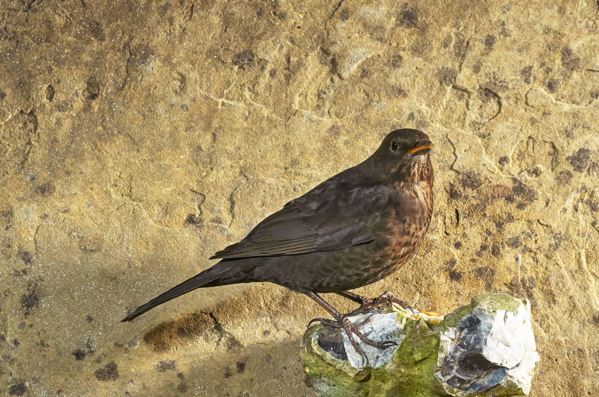 Blackbird_SJHL1527.jpg