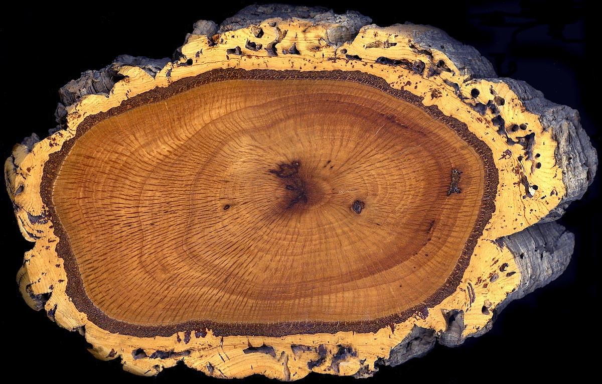 Cork_oak_trunk_section.jpg