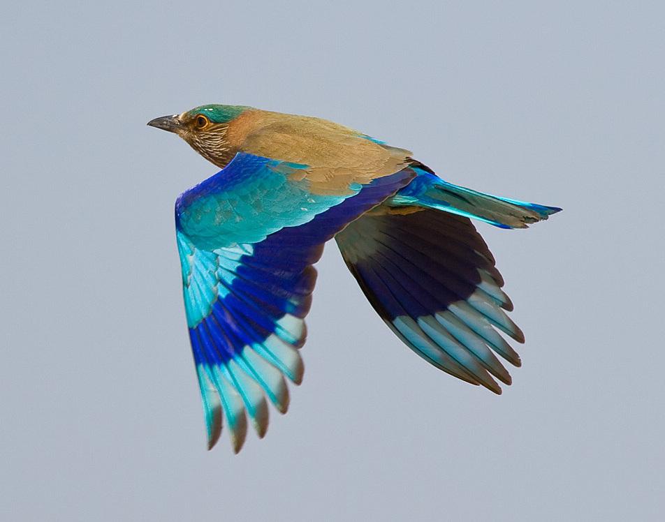 Coracias_benghalensis_-India_-flying-8.jpg
