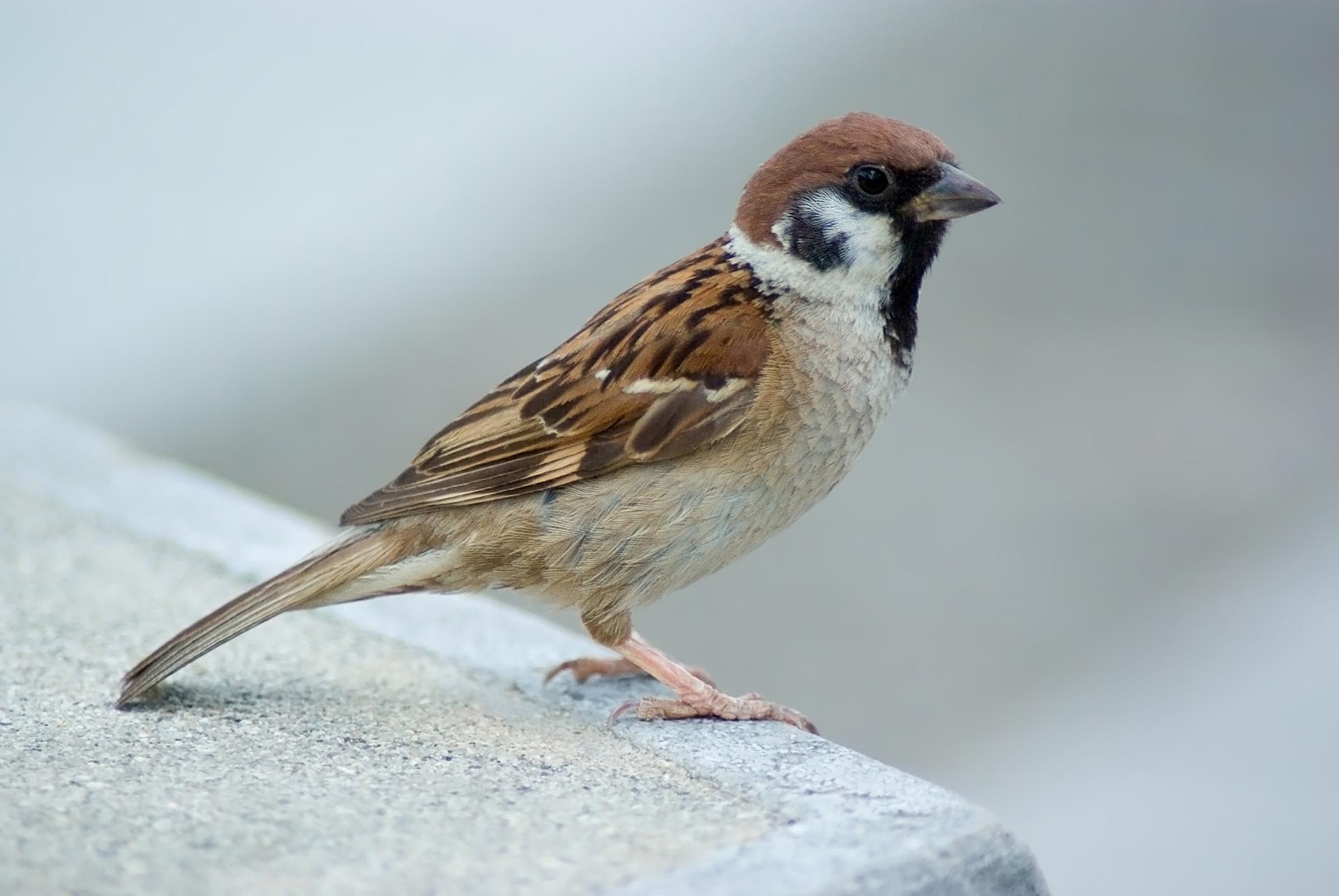 Tree_Sparrow_August_2007_Osaka_Japan.jpg