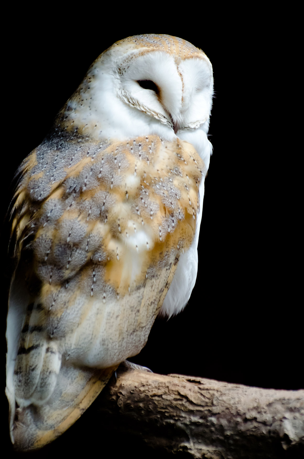 barn-owl-on-the-black-background.jpg