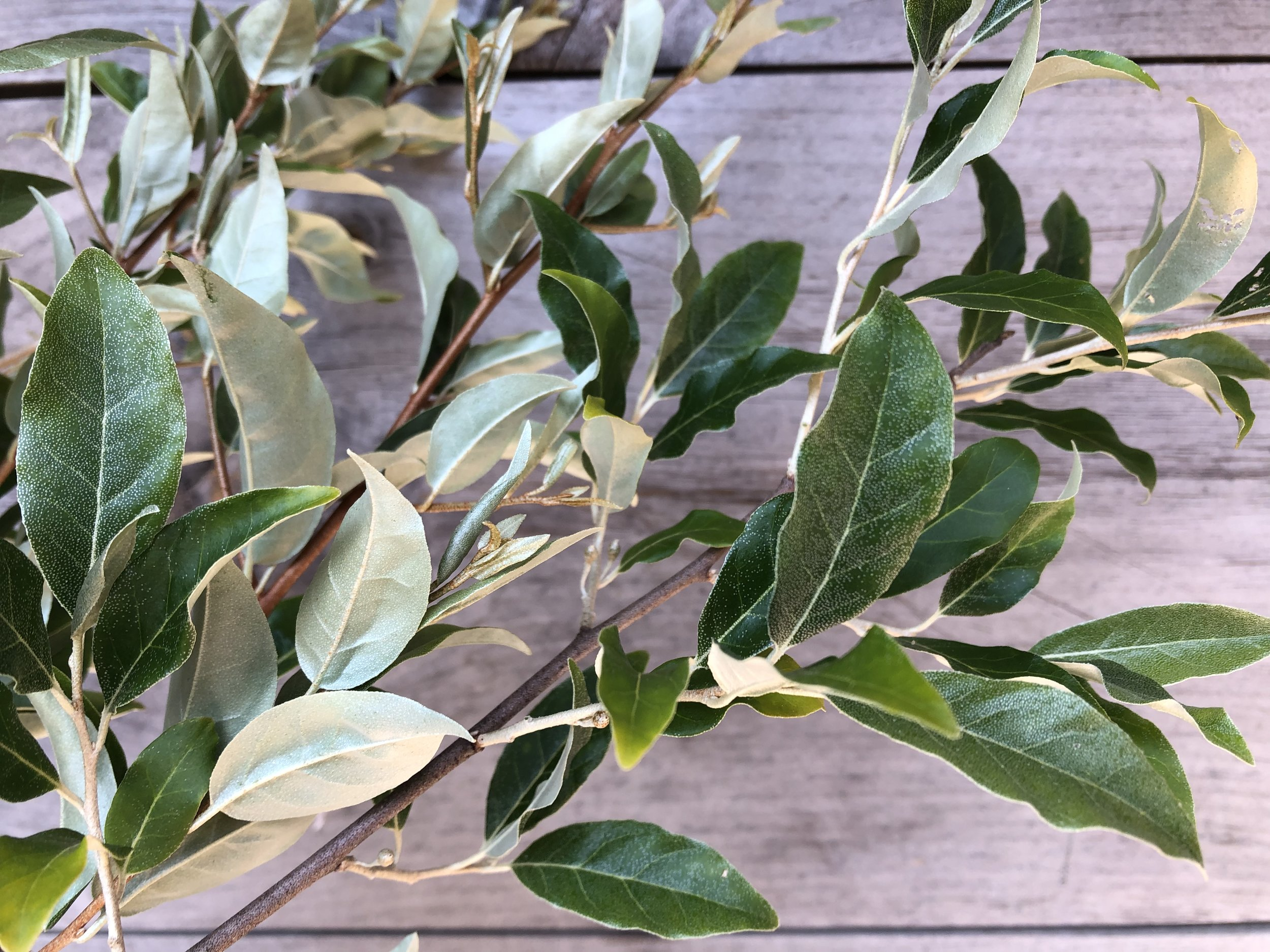 Foliage, Autumn Olive