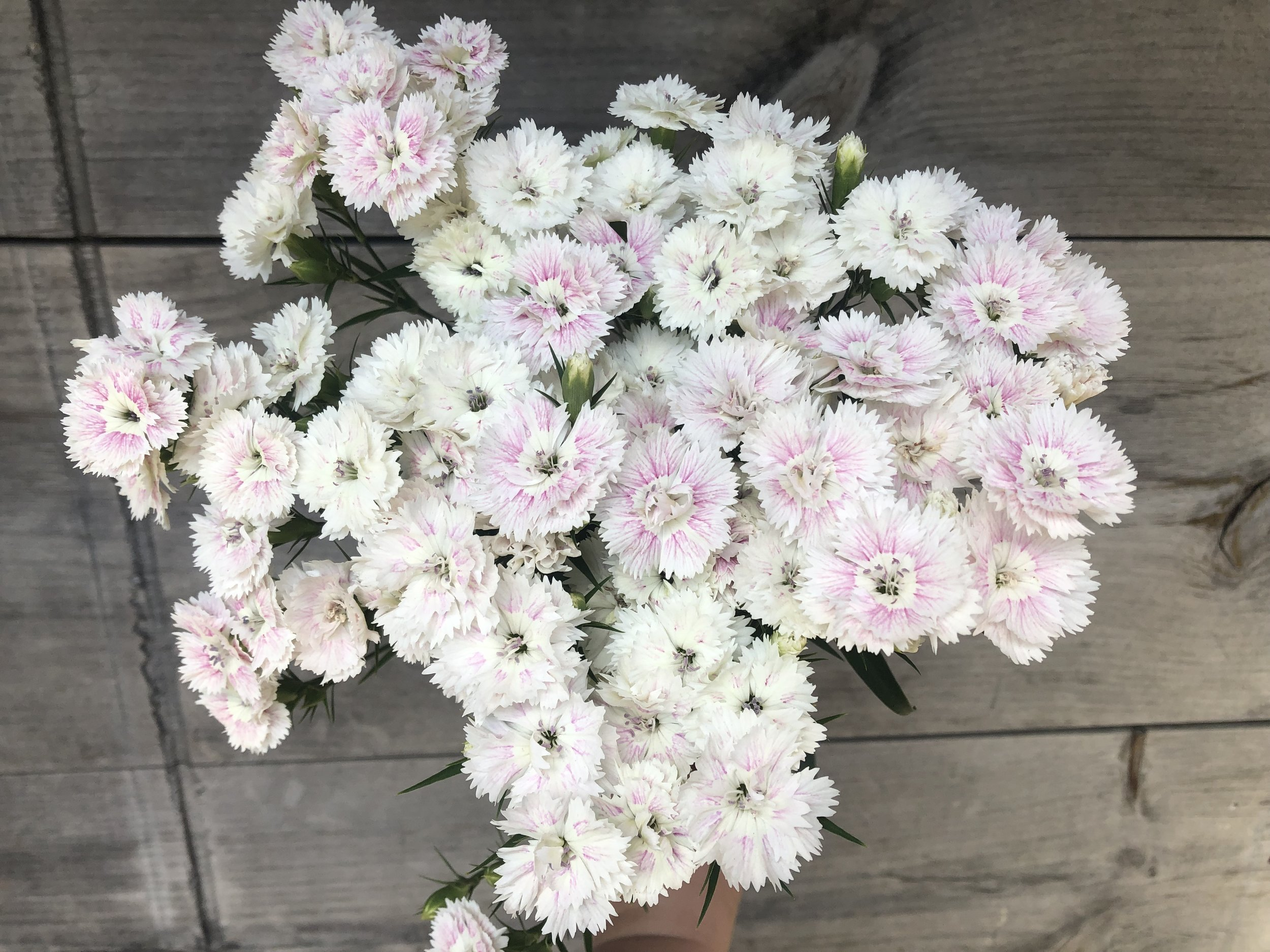 Dianthus, Dynasty White Blush