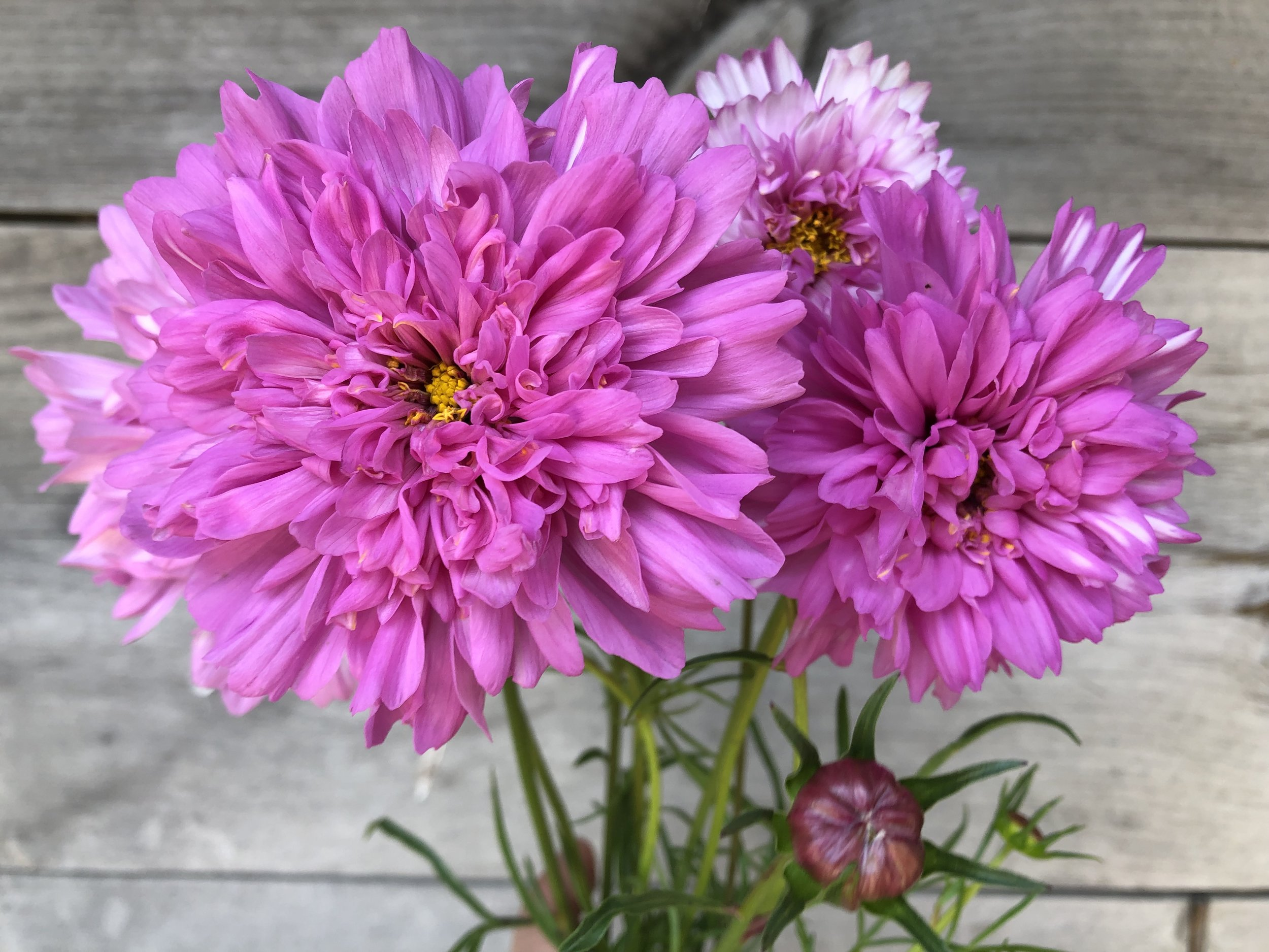 Cosmos, Double Click Rose