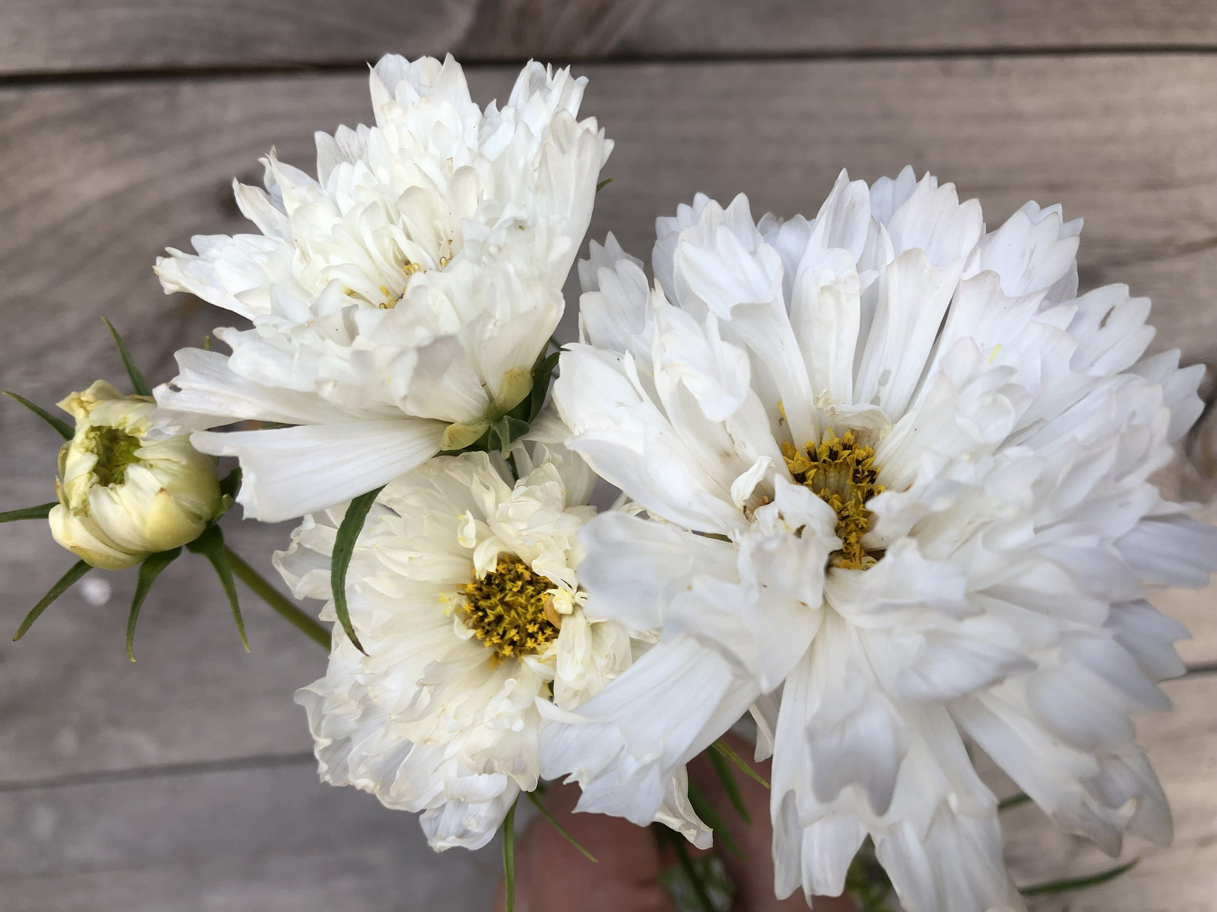 Cosmos, Double Click White