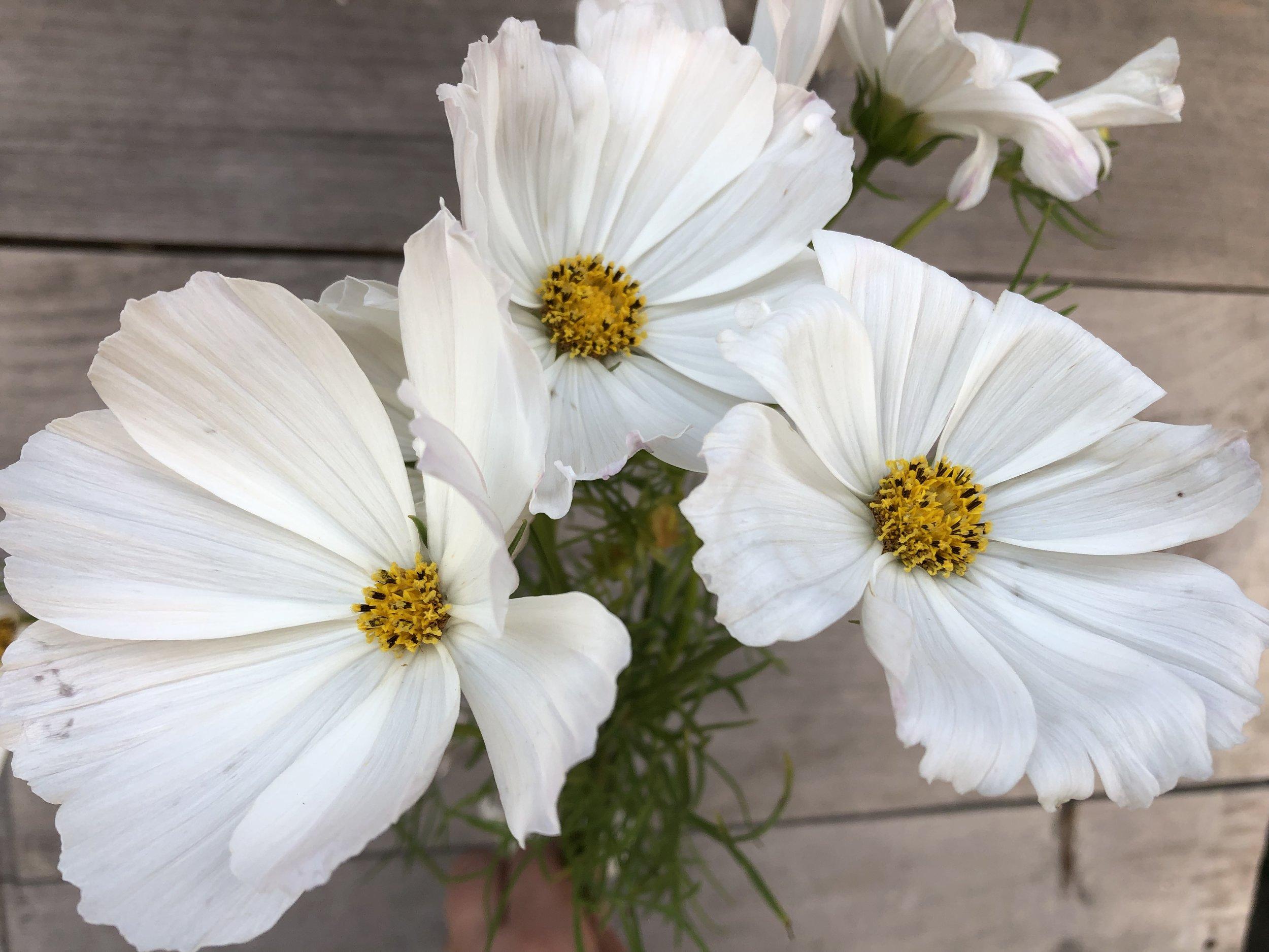 Cosmos, Versailles White