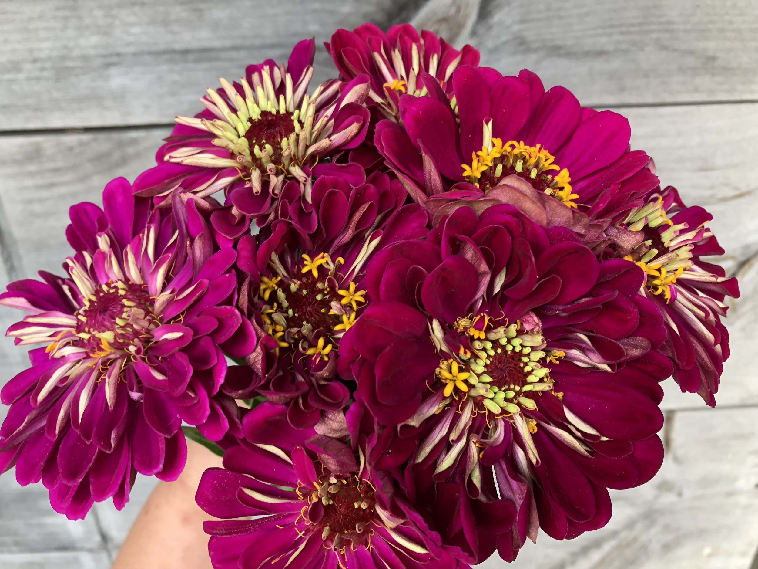 Zinnia, Benary Wine